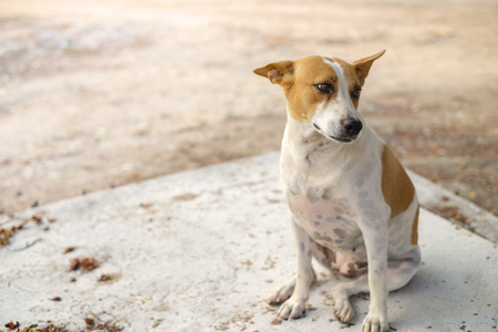 laying forward: A lonely roadside dog in Thailand. Brown and White Dog Looking, Dog portrait closeup Asia Thai animal pet. Stock Photo
