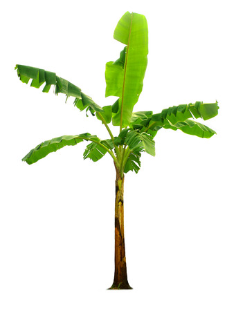 Banana tree isolated on white background with  garden design.Economic crops of tropical countries are gaining popularity.