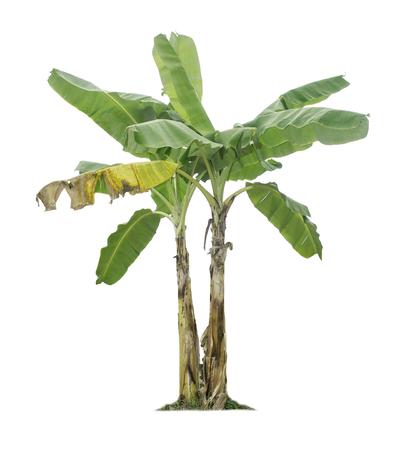 Drzewo bananowe na białym tle ze ścieżkami przycinającymi do projektowania ogrodu. Uprawy ekonomiczne krajów tropikalnych zyskują na popularności.