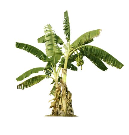Banana tree isolated on white background for garden design. Tropical economic crops that are easy to grow, yield fast