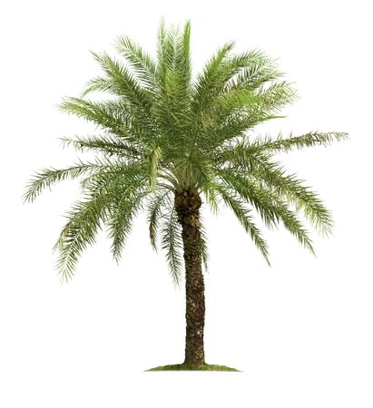 Big tree isolated on white background for garden design.Tropical species found in Asia.