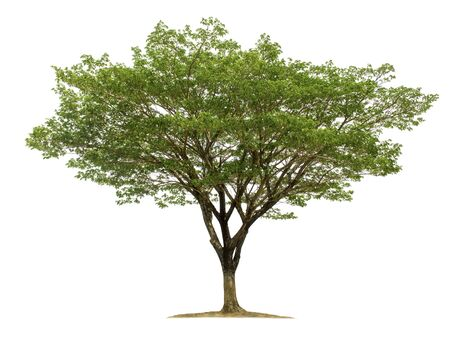 Big tree isolated on white background with clipping paths for garden design.Tropical species found in Asia.