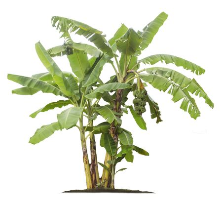Banana tree isolated on white background with clipping paths for garden design. Tropical economic crops that are easy to grow, yield fast 写真素材