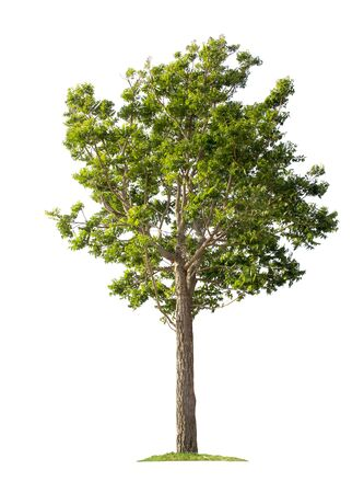 Tree isolated on white background with clipping paths for garden design.Tropical species found in Asia. Archivio Fotografico