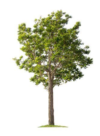 Baum isoliert auf weißem Hintergrund mit Beschneidungspfaden für Gartengestaltung.Tropische Arten in Asien gefunden. Standard-Bild