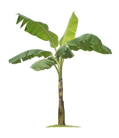 Banana tree isolated on white background with clipping paths for garden design. Tropical economic crops that are easy to grow, yield fast