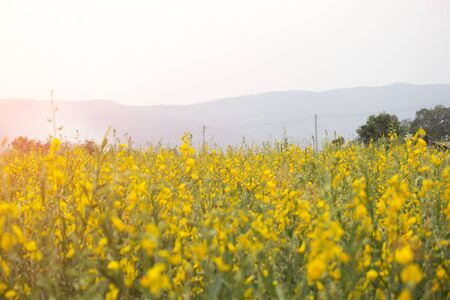 Sunn hemp or Chanvre indien, Legume yellow flowers that bloom in a farmer's field in the evening at sunset. Plants that are supported to be planted in agricultural areas after harvesting season