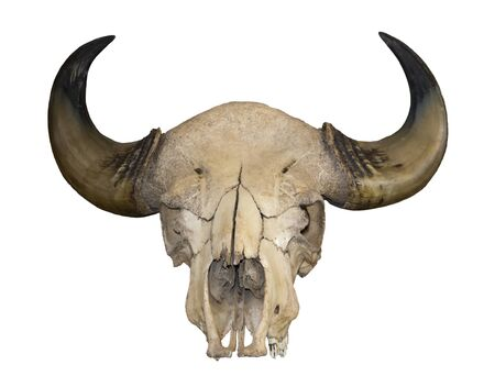 Horns and the skull of a bull isolated on white background for graphic design. Pride award for hunters