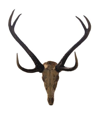 Beautiful antler with skull isolated on white background for graphic design. Proud prize in deer hunting season