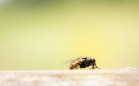 House Flies In Various Natural Gestures Macro Pictures Of Small