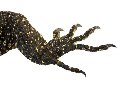 Reptile feet with claws isolated with clipping paths on a white background for graphic design.Animals with hard skin scales