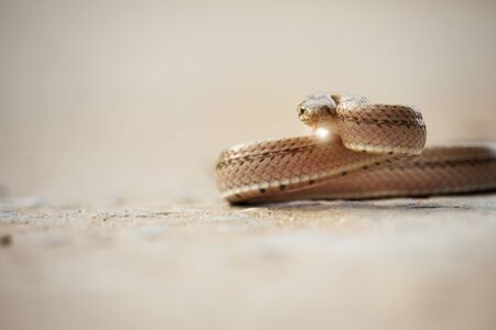 A small snake on the cement floor pose ready to fight the enemy.Painted keelbacks,It is an animal that is not poisonous, but a ferocious habit.