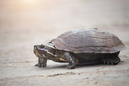 The little turtle is walking on a concrete road.Reptiles that are often harmed by crossing roads in community areas.