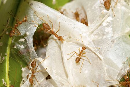 Red ants are helping to pull the leaves together to build a nest. Small animals such as insects that are harmonious in their work and shows the integrity of the natural ecosystem