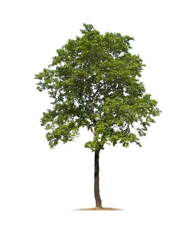 Tree isolated on white background with clipping paths for garden design. Ebony tree (Diospyios rhodcalyx), Tropical species found in Asia.