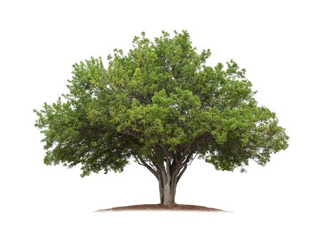 Tree isolated on white background with clipping paths for garden design. Tropical species found in Asia.