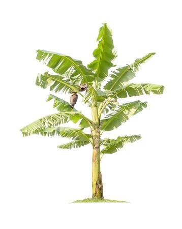 Banana tree isolated on white background with clipping paths for garden design. Tropical economic crops that are easy to grow, yield fast Foto de archivo