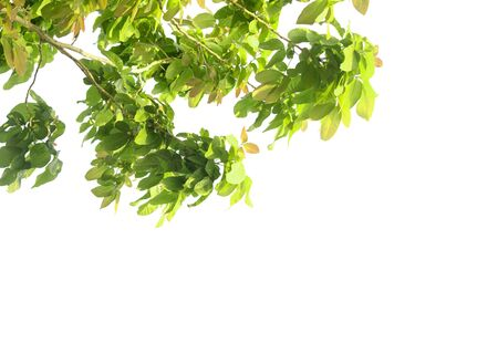 Green leaves and branches isolated on a white background. Natural templates in spring for printing or graphic design.