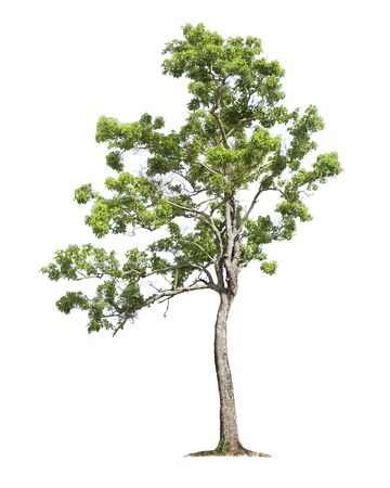 Tree isolated on white background with clipping paths for garden design. Tropical species found in the Asia forest. Stockfoto