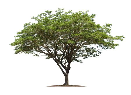 Tree isolated on white background with clipping paths for garden design. Rain Tree, East Indian Walnut or Monkey Pod. Tropical species found in Asia. Stockfoto