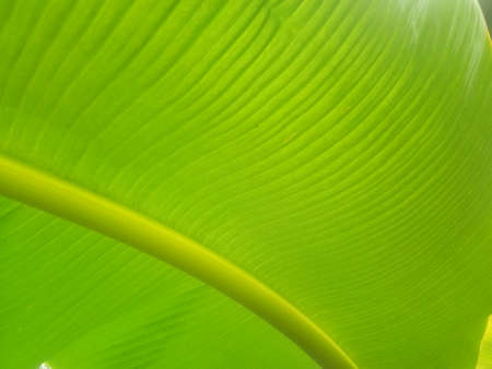 Banana leaf texture background in the green style of nature for graphic design or wallpaper. Close up tropical leaf pattern in vintage concept for graphic design. Stock fotó