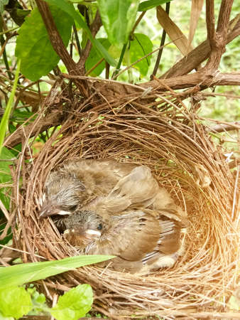 Small bird in the nest is waiting for food from the bird's parents.
