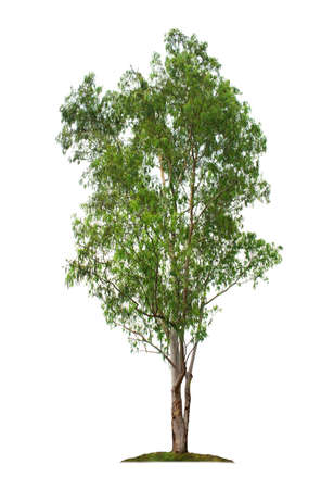 Eucalyptus tree isolated on white background with clipping paths for garden design. Big tree found in the Australian continent, which is the staple food for koalas. The trunk used to produce paper