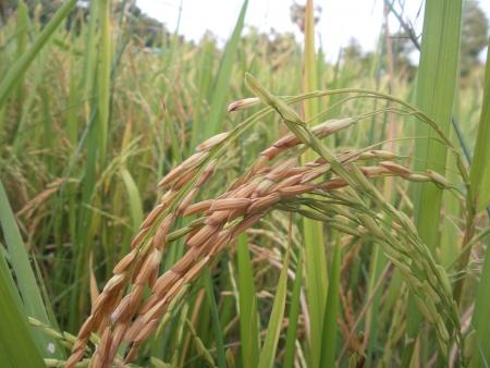 panicle: Panicle of rice