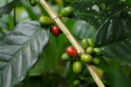 Coffee beans on plant . photo