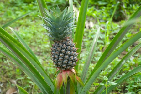 Fresh tropical pineapple .