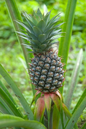 Fresh tropical pineapple .