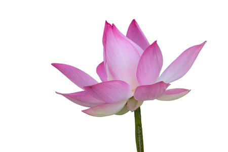 lotus in white background  Stock Photo - 13987477
