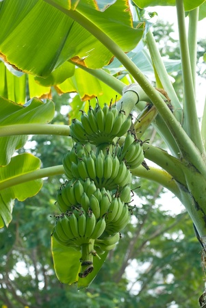green bananas on a tree