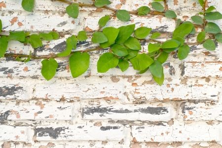 Old brick wall with leaves Stock Photo - 14210982