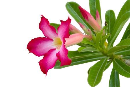isolated adenium flower on white background Stock Photo