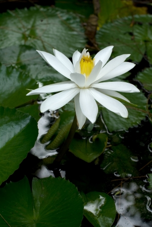 White lotus  in the pond photo