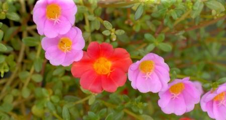 portulaca oleraceae flowers
