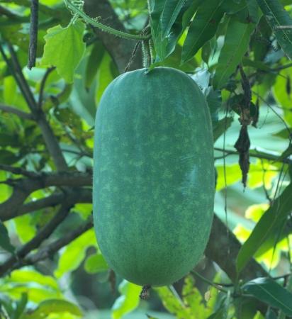 winter melon hanging on vine photo