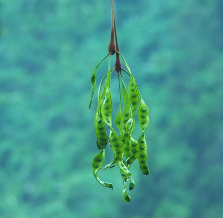 tropical stinking edible beans (Parkia Speciosa)  Stock Photo - 17958556