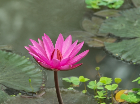 pink water lily bloom in a pond