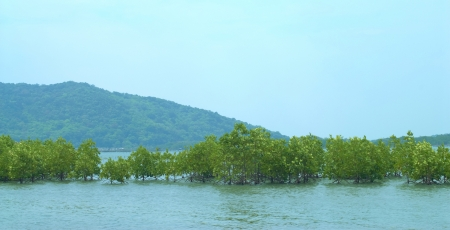 rooted: Mangrove forest plants are rooted into the sea Stock Photo