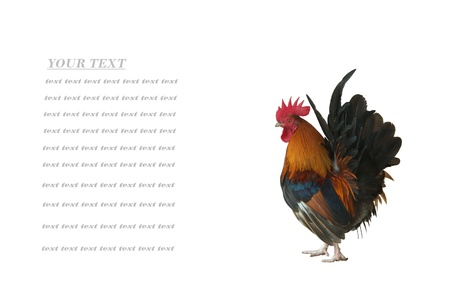 leghorn: rooster isolated on white background