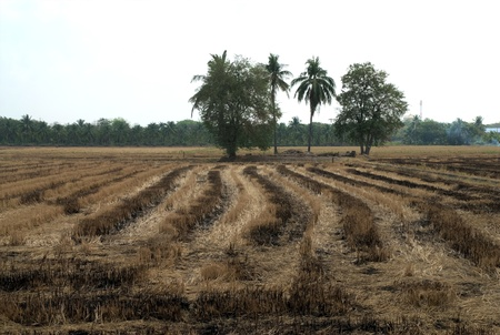 burning of rice straw at rice field photo