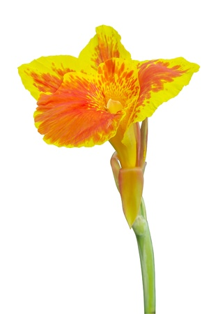 Yellow Canna flowers on white background