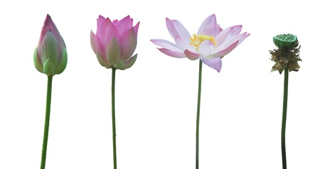 Water Lily on white background  photo