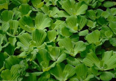 salvinia: green floating water lettuce