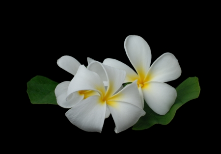White plumeria on black background photo