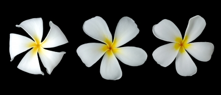 White plumeria on black background