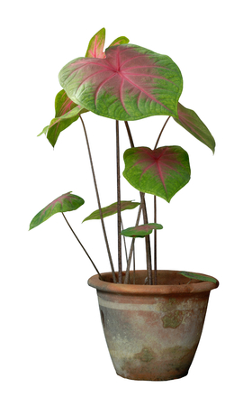 Caladiums in pot on white background