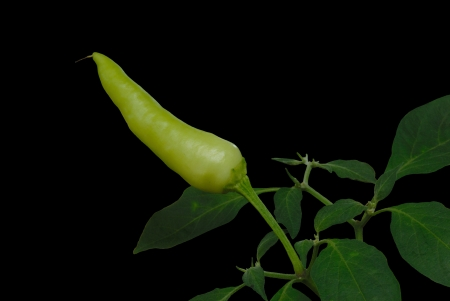 Fresh tropical chilli on  black background photo